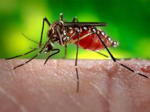 Aedes aegypti-Mosquito, Foto: James Gathany